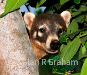 close-up of coati face in tree